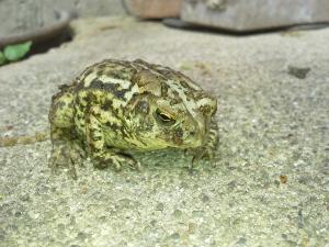 American Garden Toad