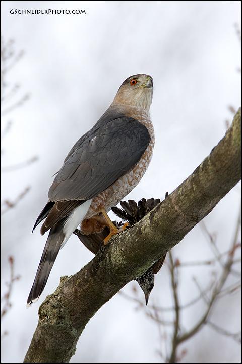 Cooper's Hawk Has Been Feasting In My Backyard