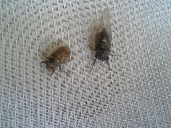 Annual Cicadas