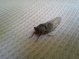 Winged Adult Cicada