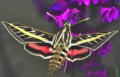 Not a Hummingbird....a Sphinx Moth